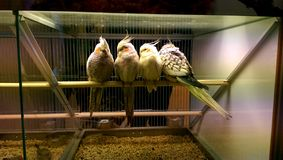 Parrots in pet shop Stock Image