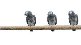 Parrots on a pole Stock Image