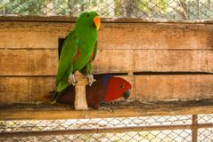 Parrots or psittacines are birds found in most tropical. And subtropical regions. The greatest diversity of parrots is in South America and Australasia royalty free stock photos