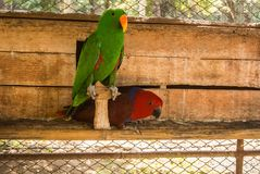 Parrots or psittacines are birds found in most tropical. And subtropical regions. The greatest diversity of parrots is in South America and Australasia royalty free stock photography