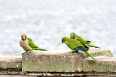 Parrots on railing with river background royalty free stock photo