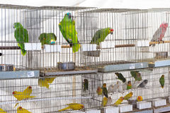 Parrots for sale Royalty Free Stock Photo
