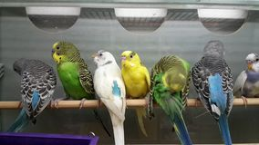 Parrots for sale in the shop. Parrots for sale in the pet shop stock footage