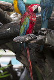 Parrots: scarlet macaw Stock Image