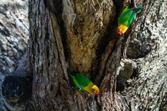 The parrots selects the nest in the hollow, Serengeti, Tanzania. Africa Royalty Free Stock Photography