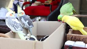 Parrots sit on the carton. And nibbling stock video footage
