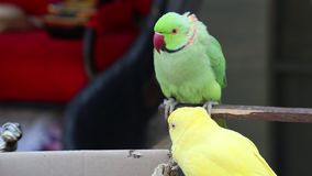 Parrots sit on the carton. And nibbling stock video