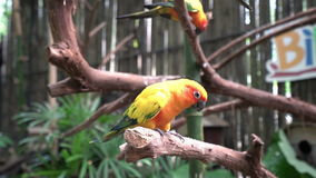 Parrots sitting on branches. Two yellow parrots sitting on branches stock video
