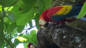 Parrots in the sky. Two scarlet macaw Ara macao on the tree with a green leaves on the background stock video
