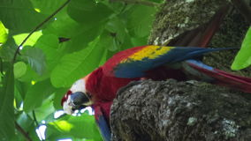 Parrots in the sky. Two scarlet macaw Ara macao on the tree with a green leaves on the background
