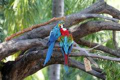 Parrots on the tree. Parrots on a tree in the rainforest Stock Photos