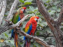 Parrots. In tropical forest stock photography