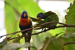 Couple of rainbow lorikeets stock photography