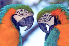 Parrots twin brothers. USA Miami Parrots birds twin brothers orange Stock Photo