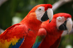 Parrots-twins Royalty Free Stock Photo