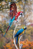 Parrots. Two colourful parrots play with each other Stock Photos