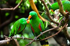 Parrots` Valentine stock photo