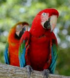 Parrots In Vivid Colors of Red With The Touch of Blue. Parrots on the tree branch stock photography