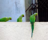 Parrots on a wall stock photos