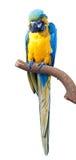 Parrots on white Stock Photo