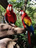 Parrots in xcaret. Parrots and macaws in xcaret mexico stock photos