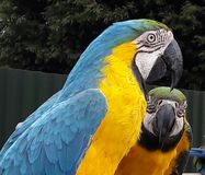 Parrots. Yellow & blue parrots Stock Photo
