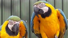 Parrots. Yellow & blue parrots Stock Images