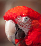 Parrott head shot Royalty Free Stock Image