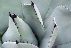Parry& x27; closeup för växt för s-blåttagave Fotografering för Bildbyråer