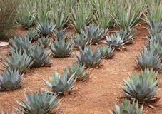Parry's Agave rows in landscaping Royalty Free Stock Image