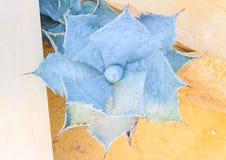 Parryi dell'agave Fotografia Stock