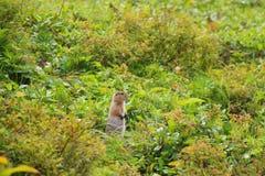 Parryii суслик суслика Арктическое Urocitellus стоит в траве стоковая фотография rf