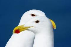 parseagulls Fotografering för Bildbyråer