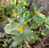Parslaine. Leafy, flowers, yellow, seeds royalty free stock photos