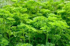 Parsley. (Petroselinum crispum Stock Image