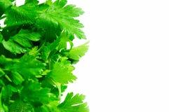 Parsley. Green fresh parsley over white Stock Photos