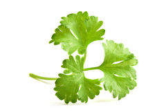 Parsley Royalty Free Stock Photo