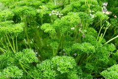 parsley Royaltyfri Bild