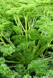 Parsley. Close-up on fresh culinary herbs parsley royalty free stock photo