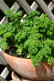 parsley Royaltyfria Foton