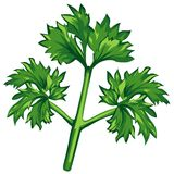 Parsley. Colored illustration, design element Royalty Free Stock Photo