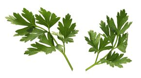 Parsley. Isolated on a white background stock image