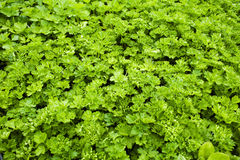 Parsley. Bunch of Fresh green parsley can be used as a  background Royalty Free Stock Image