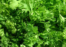 Parsley. Bunch of parsley as background Royalty Free Stock Image