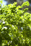 Parsley. Closeup of a curly garden parsley plant Stock Images