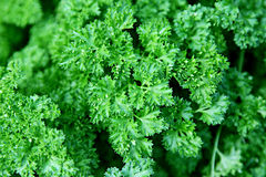 Parsley. A closeup of curly leaved parsley Stock Image