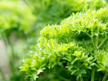 parsley Arkivbild