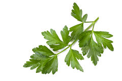 Parsley. Flat-leaf parsley, isolated on white, with raindrops Royalty Free Stock Images
