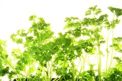 Parsley. Before a white background Stock Image