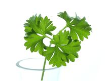 parsley Arkivbild